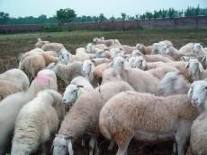 小尾寒羊最新價格山東金麟牧業