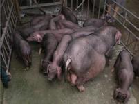 湖南太湖母猪价格 湖南苏太母猪价格