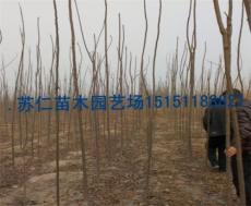 5公分千头椿哪里有种植