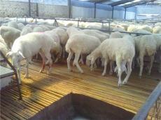 山東小尾寒羊養殖 小尾寒羊利潤價格