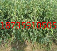 供應紅香酥梨樹苗梨樹苗價格