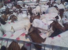波爾山羊多少錢一只 一只波爾山羊多少錢