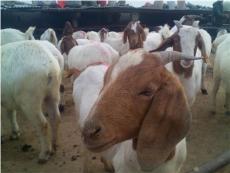 山東波爾山羊多少錢一只 直銷波爾山羊