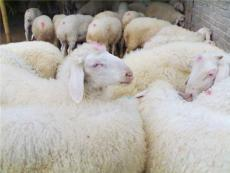 小尾寒羊 波尔山羊 西门塔尔牛 鲁西黄牛