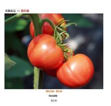 五玄果蔬采摘园供应西红柿价格优惠