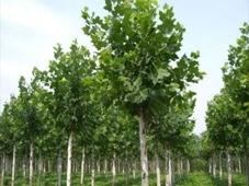 苗木育苗期间的水分管理