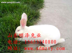 肉兔種兔 野兔 肉兔最新價格 獺兔效益分析