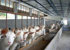供應低價優質波爾山羊 白山羊