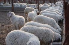 供應低價優質小尾寒羊 杜泊綿羊