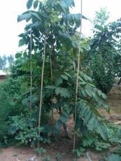 麻核桃树苗供应