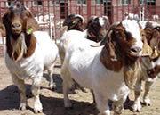 武汉波尔山羊最新价格