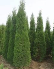 哪种松树是公路绿篱专用苗 -种植基地-价格
