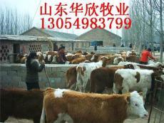 贵州肉牛西门塔尔牛价格 江苏利木赞牛行情