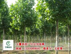 山東法桐出售 新式法桐供應 造型法桐價格