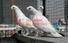 觀賞鴿的養殖技術觀賞鴿生活習性最重要價格