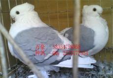淑女觀賞鴿養殖兩頭烏觀賞鴿價格沈陽觀賞鴿