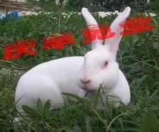 一只種兔多少錢 肉兔最新價格