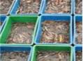 泥鰍人工養殖技術要點