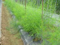 蘆筍種子品種 蘆筍種子選擇