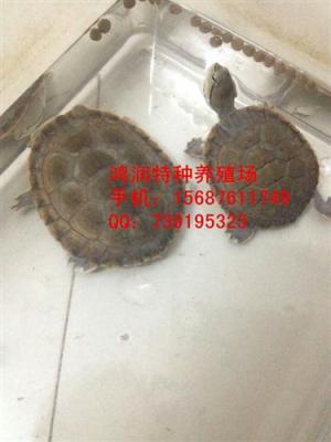 希拉里蟾头龟哪里价格便宜