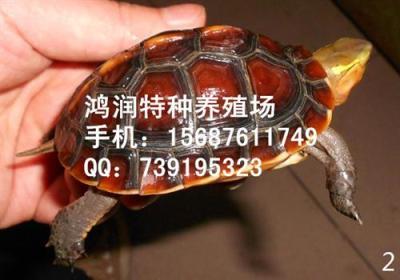 安徽黄缘龟图片 云南昆明供应安缘龟厂家