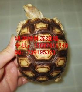 苏卡达陆龟饲养环境 苏卡达龟哪里出售