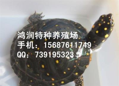 星点水龟价格 星点水龟云南供应商
