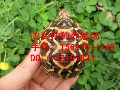 印度星龟怎么养殖 印度星龟哪里有批发