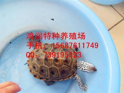 出售大花钻纹龟 大花钻纹龟品相极好