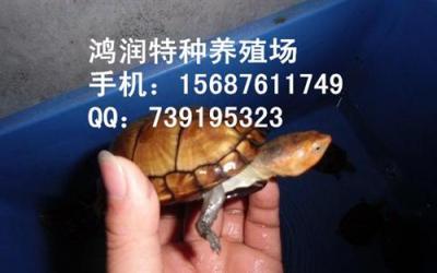 红面蛋龟求购 昆明养殖场批发红面蛋龟