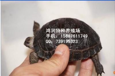 供应亚达陆龟 亚达陆龟便宜出售