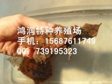 红玛塔价格 红玛塔云南养殖场