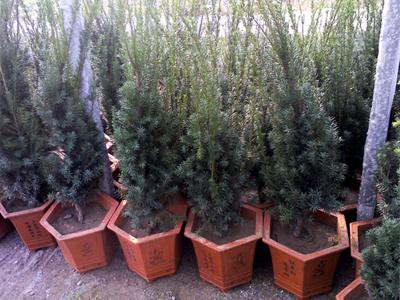 曼地亚红豆杉对光照的需求