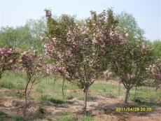 樱花树苗推荐价格-哪里的樱花苗最便宜-兴红