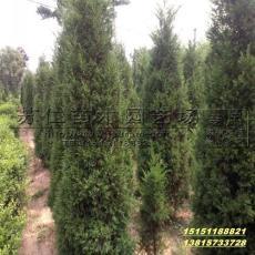 江苏蜀桧绿篱苗价格