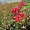 红火箭紫薇小苗价格