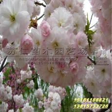 櫻花樹苗最新報價
