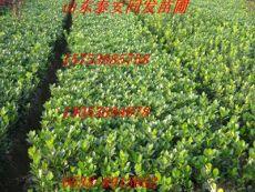 大葉黃楊樹苗 大葉黃楊小苗價格 黃楊基地