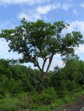 2014年大丛生白桦树 稀缺 价格上天