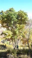 白桦树供应 河北白桦树批发 苗规格齐全